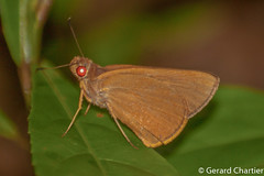 Matapa druna (Grey-brand Redeye) (GeeC) Tags: tatai matapa nature animalia arthropoda matapadruna hesperiinae plastingiagroup hesperioidea kohkongprovince cambodia insecta lepidoptera hesperiidae
