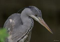 In Lauerstellung (wernerlohmanns) Tags: wildlife outdoor natur nikond750 schärfentiefe sigma150600c vögel wasservögel reiher graureiher heron naturpark