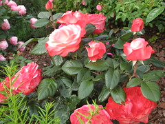 Brich hervor, in deiner Schöne (amras_de) Tags: rose rosen ruža rosa ruže rozo roos arrosa ruusut rós rózsa rože rozes rozen roser róza trandafir vrtnica rossläktet gül blüte blume flor cvijet kvet blomst flower floro õis lore kukka fleur bláth virág blóm fiore flos žiedas zieds bloem blome kwiat floare ciuri flouer cvet blomma çiçek