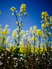 * (t*tomorrow) Tags: panasonic lumix gx8 14mm 菜の花