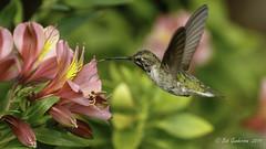Anna's Hummingbird (Bob Gunderson) Tags: annashummingbird birds california calypteanna fortmason hummingbirds northerncalifornia sanfrancisco