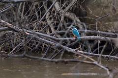 PILT4092 (ottmaasikas) Tags: jäälindalcedoatthiskingfisher kingfisher jäälind alcedo atthis