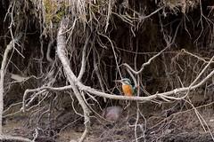 PILT4073 (ottmaasikas) Tags: jäälindalcedoatthiskingfisher kingfisher jäälind alcedo atthis