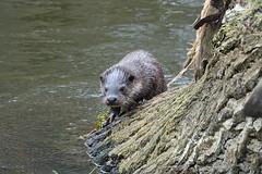 Otter (hedgehoggarden1) Tags: otter mammal animal creature wildlife sonycybershot nature norfolk eastanglia uk sony river