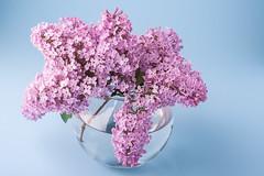 DSCF0404 (Frostroomhead) Tags: lilac spring spirngtime purple violet blue background vase bouquet xpro1 fujifilm fujinon 60mm f24