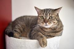 A9__DSC0045_C1 (Bazoka+Cynthia) Tags: cat delta 小婆 新北市 樹林區 貓