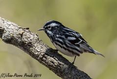 Paruline Noir et Blanc / Black-and - white Warbler (J.P.Proulx) Tags: 200500mm 2019 nikon p d500 oiseau