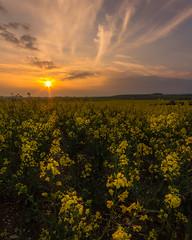 Woodcote Sunset (Steven's Photo's) Tags: sunset spring rapeseedoil field warm colour yellow orange oxfordshire woodcote reading didcot stevenplows