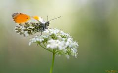 Oranjetipje - Orange tip - Anthocharis cardamines (Wim Boon Fotografie) Tags: orangetip oranjetipje vlinder vlindermacro holland nederland netherlands nature natuur canoneos5dmarkiii canon300mmf4lis14ex alblasserwaard alblasserbos macro