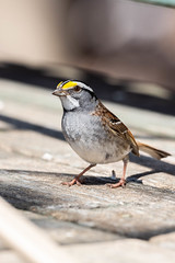73899 - Bruant à Gorge Blanche Mâle - Male White-Throated Sparrow - Crop (xVanHovenx) Tags: bruant sparrow bruantàgorgeblanche whitethroatedsparrow animal oiseau bird sonya7iii sigmamc11 sigma150600contemporary