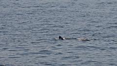 Halichoerus grypus - a Grey Seal in Stockholm (Thanks A!) (Franz Airiman) Tags: halichoerusgrypus säl seal sälis sälx grayseal greyseal animal djur stockholm sweden scandinavia wild vild vattendjur mammal watermammal däggdjur vattendäggdjur gråsäl