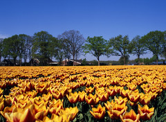 img181 (Ernst-Jan de Vries) Tags: fuji fujifilm fujichrome rvp50 velvia slide dia reversal film analoog analog analogue 120 645 mediumformat middenformaat mittelformat mamiya landscape agriculture landschap landbouw bollenteelt tulp tulpen tulip tulips flower bloem