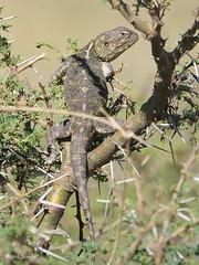 Black-necked Tree Agama Acanthocercus gregorii (nik.borrow) Tags: reptile agama ndutu