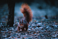 Red Squirrel (Asa-Photography) Tags: red squirrel nikon d850 tamron 70200 28 nature wildlife wildlifephotography naturephotgraphy nikond850 national nikond500 wild forest moody misty woods mysterious