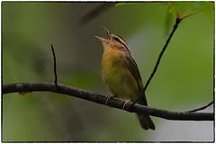 Worm Eating Warbler (RKop) Tags: shawneestatepark raphaelkopanphotography warblers warbler d500 600mmf4evr 14xtciii nikon
