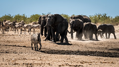 "Namibia - Etosha ""Make Way for the Royal Family"" (Julien O'Farley) Tags: animaux elephant etosha namibie pays sujets zebras waterhole géographie zèbres"