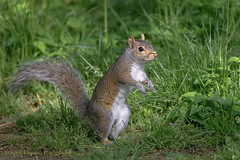 Grey Squirrel (Kevin James54) Tags: nikond850 peacevalleypark tamron150600mm animals greysquirrel kevingianniniphotocom