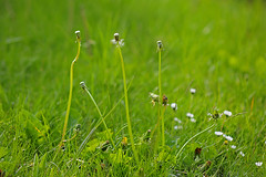 Gone with the wind ... (Vom Winde verweht ...) (Manfred_H.) Tags: nature plants pflanzen wiese meadow flower blumen löwenzahn dandelion