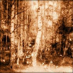 forest (Kroni Toropov) Tags: nature forest landscape summer russia film pixlromatic пленка смена8м пейзаж лес россия лето верхошижемье зониха киров вятка
