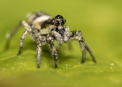 Zebra Spider Water Hat W 11th May (Gavin Vella) Tags: jumping spider evarcha falcata spiders spidersuk cute eyes nature naturephotography wildlife buglife bugs bugsuk south wales macro macrolens canon 7d mk ii canonmacro