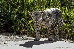 Jaguar at high noon - DI4A3441-1 (arvind agrawal) Tags: jaguar pantheraonca onca pantanal cuiaba brazil canoneos5dmarkiv canon 600mm arvindagrawal