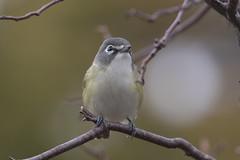 6011 (Eric Wengert Photography) Tags: vireo vireosolitarius bird blueheadedvireo passerine songbird