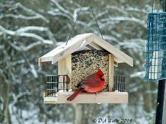 The State Bird of Ohio (Picsnapper1212) Tags: northerncardinal male red bird animal nature backyard lebanon ohio officialstatebird snow winter