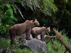 Khutz mother & cub on rock 2019_715 (Archie Richardson) Tags: khutzemateen grizzlybear cub eagle 2018