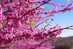 Redbud Blossoms (DJ Witty) Tags: nikonf5 photography fujichrome velvia rvp100 spring bloom redbud