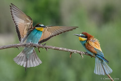 European bee-eaters. (Ciminus) Tags: europeanbeeeater naturesubjects aves ornitology nature ciminus birds ciminodelbufalo gruccione wildlife gruccioni nikon oiseaux afsnikkor70200f28edvrii meropsapiaster nikond500 uccelli ornitologia coth5