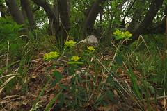 Euphorbia verrucosa (aniko e) Tags: euphorbiaceae flower euphorbia euphorbiaverrucosa spurge wartyspurge wolfsmilch warzenwolfmilch kutyatej bibircseskutyatej balatonfüred tamáshegy hungary hiking spring balaton balatonuplandsnationalpark bfnp balatonfelvidékinemzetipark