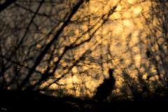 Cormoran bokeh (Richard Holding) Tags: bird cormoran m43 oiseau olympus omd