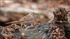 (c)WMH_2019_05_11_4494 Song Sparrow (WesleyHowie) Tags: kentville minersmarsh birds sparrow canada location songsparrow wildlife novascotia