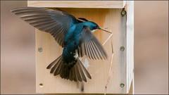 (c)WMH_2019_05_11_4630 Tree Swallow (WesleyHowie) Tags: treeswallow kentville minersmarsh swallow birds canada location wildlife novascotia