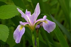 Iris by the Frog Pond (scott_clark) Tags: iris spring flower