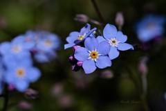 Les myosotis - Forget-Me-Nots (Mireille L.) Tags: macrophotography myosotis forgetmenot fleurs flowers bleu blue printemps spring canoneos70d