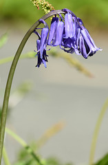 Bluebell (Hyacinthoides non-scripta) (Sky and Yak) Tags: flower nature naturalworld cornwall falmouth bluebell hyacinthoides nonscripta hyacinthoidesnonscripta