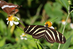 Zebra Longwing On Flower (peterkelly) Tags: digital canon 6d gadventures mayandiscovery northamerica mexico palenque chiapas palenquenationalpark butterfly flower zebralongwing heliconiuscharithonia