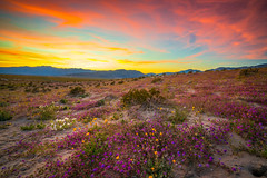 Anza Borregeo Desert Wildflowers Superbloom San Diego! God Spilled Buckets of Paint California Spring Wild Flower Super Bloom McGucken Fine Art Landscape & Nature Photography! Sony A7R III & Sony FE 16-35mm f/2.8 GM Lens SEL1635GM GMASTER OSS! (45SURF Hero's Odyssey Mythology Landscapes & Godde) Tags: anza borregeo desert wildflowers superbloom san diego god spilled buckets paint california spring wild flower super bloom mcgucken fine art landscape nature photography sony a7r iii fe 1635mm f28 gm lens sel1635gm gmaster oss