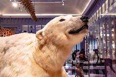 36-Ours polaire (Alain COSTE) Tags: bordeaux gironde france jardinpublic museum 2019 nikon
