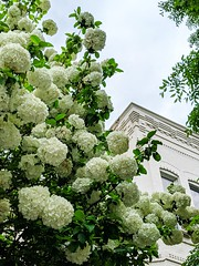 white hydrangeas (ekelly80) Tags: dc washingtondc april2019 spring rowhouse house white hydrangeas flowers bush tree