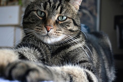 Buckley: 2008-2019 (~ Liberty Images) Tags: buckley cat tabby pet buddy portrait handsome
