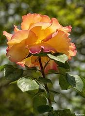 Yellow rose (akatsoulis) Tags: nikkor nikoneurope nikonuk macrodreams closeup flowers easter2019 greece xanthi nikkor50mm14g d5300 nikon yellowrose roses