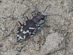 Oblique-lined Tiger Beetle (Bug Eric) Tags: animals wildlife nature outdoors insects bugs beetles tigerbeetles cicindelinae carabidae coleoptera obliquelinedtigerbeetle cicindelatranquebarica fountaincreekregionalpark fountain colorado usa northamerica april282019
