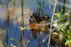A couple of painted turtles and their reflections (Eat With Your Eyez) Tags: painted turtle eye animal shell living water pond lake penitentiary glen wildlife center county ohio park nature outdoors spring sun sunshine reptile reptiles panasonic fz1000 plant log reflection