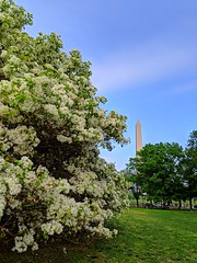 full bloom (ekelly80) Tags: dc washingtondc april2019 spring nationalmall bloom bush flower white view washingtonmonument