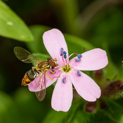 Hoverfly on Soapwort (mattbpics) Tags: fly hoverfly canon 70d 100 100mm macro insect diptera flower soapwort ef100mmf28lmacroisusm