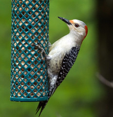 Female red bellied woodpecker (carpingdiem) Tags: redbelliedwoodpecker indianapolis spring 2019 birds feeder