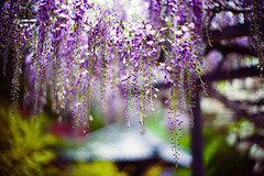 Time of Wisteria (moaan) Tags: tanba hyogo japan flower flowering flora wisteria color richlycolored beauty beautyinnature above fromabove wisteriatrellis closeup focusonforeground selectivefocus bokeh bokehphotography dof leica leicamp type240 noctilux 50mm f10 noctilux50mmf10 leicanoctilux50mmf10 utata 2019 springtime april