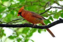 Northern Cardinal 01 05.11.19 (Gene Ellison) Tags: bird northerncardinal male red feathers eyes beak tree branch leaves fujifilm velvia